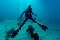 Diver splits legs apart for passing goliath grouper, Epinephelus itajara, Molasses Reef, Key Largo, Florida, USA, Atlantic Ocean