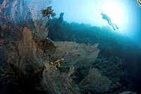 Divers over Gorgonian sea fans, Red Sea, Egypt