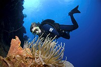 Diver approaching anemone on colourful coral and sponge wall, Maria La Gorda, Cuba, Caribbean