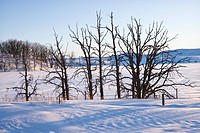 Leafless snow covered trees in winter