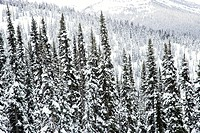 Snow covered trees in Whistler, Canada.