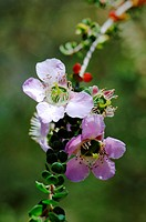 Leptospermum rotundifolium (thumbnail)