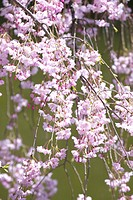 Prunus spachiana