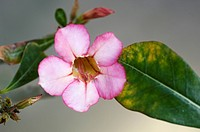 Adenium obesum