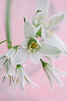 Ornithogalum