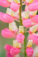 Lupinus