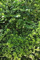 Green lush Jasmine bush