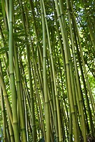 Green bamboo forest in Maui, Hawaii, USA