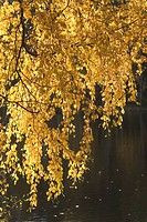 Bending, Branch, Day, Falling, Golden