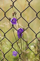 Chain_Link Fence, Close_Up, Design, Flower, Iron