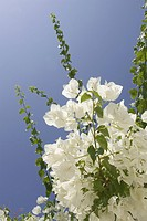 Blossom, Blue, Clear Sky, Close_Up, Day
