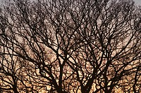 Bare Tree, Close_Up, Dusk