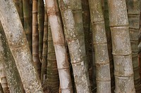 background, bamboo, botany