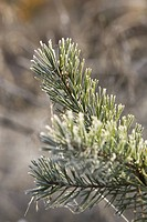 Close-Up, Cobweb, Coniferous Tree, Day, Evergreen Tree (thumbnail)