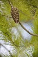 Branch, Cone, Day, Focus On Foreground, Fresh