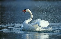 river, clean, mute swan, lake, huwiler, spring, action
