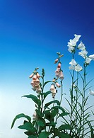blue, Bell, Bernhard, bellflowers, bellflower, allergy