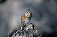 hoernchen, alberta, animal, animals, backenhoernchen, Canada, chipmunk
