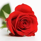 Close_up of single red rose against white background