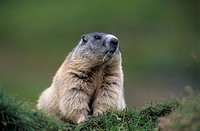 mountains, marmot, marble, murmeltiere, rodent, rodents, national park