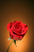 Single long-stemmed red rose against golden background (thumbnail)