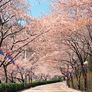 cherryblossoms, plant, road, tree, film