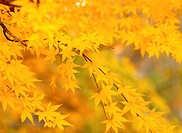 autumnal tints, tree, maple leaves, maple, autumn, fall foliage, plant