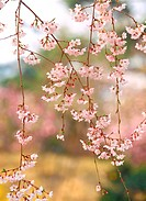 cherryblossoms, flower, plants, plant, film
