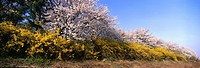 cherry blossom, landscape, spring, season, scenery, tree, nature