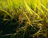 rice, fall, rice field, rural area, autumn, ear, season