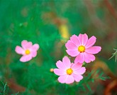 Autumn, plant, season, cosmos, flower, film (thumbnail)