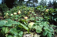 tree, landscape, pumpkin, rural area, scenery, leaf, nature