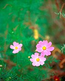 autumn, plant, season, cosmos, flower, film