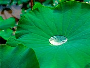 lotusleaf, plants, plant, waterdrop, film