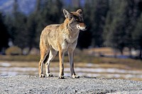 Fauna, Adventure, trip, American, National, park, coyote (thumbnail)