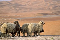 Desert, Fauna, Group, Adventure, trip, Sand, Sheep (thumbnail)