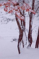 Snow On Leafy Maple Trees