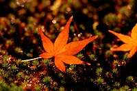 Maple Leaf On Ground (thumbnail)