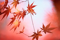 Leafy Maple Branches In Red