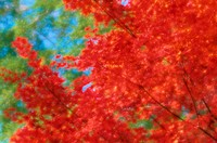 Red Leaves Of Maple