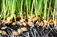 Wheatgrass roots close_up