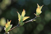 New Leaves On Branch