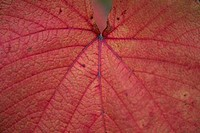 Close_up of ornamental vine leaf