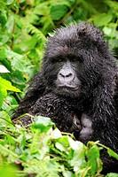 Female mountain gorilla nursing her baby in the rain (Gorilla beringei beringei) Volcanoes National Park, Rwanda, Africa