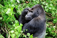 Silverback eastern lowland gorilla portrait in the equatorial forest of Kahuzi Biega Park (Gorilla beringei graueri) Democratic  Republic of Congo, Af...
