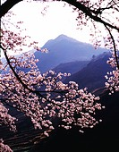 cherry blossom, landscape, spring, season, scene, cherry tree, nature
