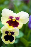 Two Pansy Flowers Viola x wittrockiana May 2008 Maryland, USA