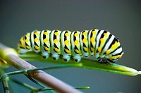 Caterpillar - Swallowtail caterpillar Papilio machaon