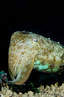 Close_up of cuttlefish