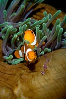 Anemonefish in anemone.